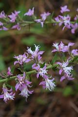 Liatris elegans (Pinkscale Blazing Star) (jimf_29605) Tags: liatriselegans pinkscaleblazingstar francismarionnationalforest charlestoncounty berkeleycounty southcarolina sony a7rii 90mm wildflowers
