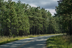FMNF - Longleaf Pines - Halfway Creek Road (jimf_29605) Tags: francismarionnationalforest longleafpines halfwaycreekroad charlestoncounty berkeleycounty southcarolina sony a7rii 90mm pinuspalustris longleafpine