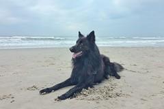 Totoro 🐺 (Jos Mecklenfeld) Tags: noordzee northsea nordsee callantsoog noordholland nederland niederlande netherlands strand beach herdershond herder schäferhund shepherddog shepherd hond hund dog dutchshepherd hollandseherder totoro