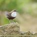 White-throated Dipper (Cinclus cinclus)