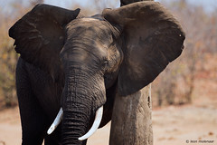 Rubbing Post (leendert3) Tags: leonmolenaar southafrica krugernationalpark wildlife wilderness wildanimal nature naturereserve naturalhabitat mammals africanelephant ngc npc