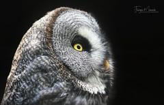 BARTKAUZ/GREAT GRAY OWL (babsbaron ( Bella )) Tags: canon nature naturephotographie animals tiere tierfotografie animalphotographie zoo animalpark lüneburgerheide vogel vögel birds eulen owls wildpark naturfotografie