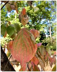 Dogwoods have started to turn (karma (Karen)) Tags: baltimore maryland neighborhood trees leaves dogwood dof bokeh iphone hbw