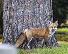 Red Fox (Vulpes vulpes) (mesquakie8) Tags: mammal fox standingnearatreeorgravestone redfox vulpesvulpes greenwoodcemetery rockford winnebagocounty illinois 3978