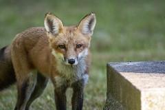 Red Fox (Vulpes vulpes) (mesquakie8) Tags: mammal fox standingnearatreeorgravestone redfox vulpesvulpes greenwoodcemetery rockford winnebagocounty illinois 4004