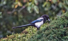 On the hedge (ruedigerdr49) Tags: magpie bird animal nature green blck whlte colors