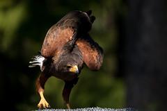 The take off! (annjane3) Tags: nature bird falcon falke vogel vögel wildlife wild predator preparing fly raubvogel