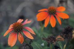 DSC02039 (Lens Lab) Tags: sony a7r goi argon2 90mm f35 plants garden flowers echinacea coneflower