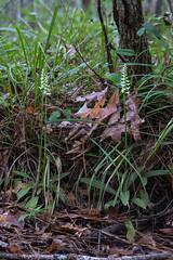 Spiranthes odorata (Fragrant Ladies'-tresses orchid) habitat (jimf_29605) Tags: spiranthesodorata fragrantladiestressesorchid habitat francismarionnationalforest charlestoncounty berkeleycounty southcarolina sony a7rii 90mm orchids wildflowers