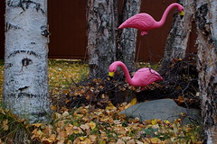281/365 Pink Flamingos in Fall (OhWowMan) Tags: ohwowman nikon nikkor d3300 acdseepro9 my2019challenge 365project animageaday dailyphotography 365the2019edition 3652019 day281365 08oct19 pink pinkflamingos fall autumn alaska anchorage outdoors outside onlyinalaska outdoor