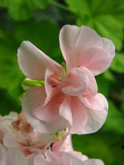 (Vallø) Tags: flower macro nature closeup garden denmark outside outdoor blomst danmark aarhus vallø 2019 sooc århusv pink green natur grøn lyserød