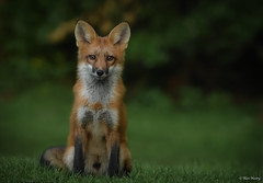 Red Fox (aj4095) Tags: red fox nature wildlife outdoor ontario canada animal nikon