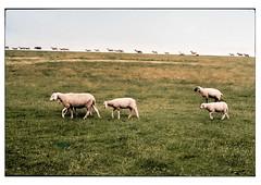 (schlomo jawotnik) Tags: 2019 juli greetsiel schlomostierwelt schafe treck mööööh gras deich ostfriesland analog film kodak kodakproimage100 usw