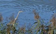 Héron2 (claudefix) Tags: héron nature oiseaux eau