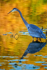 19-10-08_tstory-41web (Timothy Story) Tags: adult altered aquatic behaviour birds brucetrail burlington canada centralregion environment exterior fall forest greatlakes haltondistrict hamiltonharbour hendrievalley lakeontario northamerica ontario pelecaniformes photograph plants reflections vertical waterfronttrail wildlife