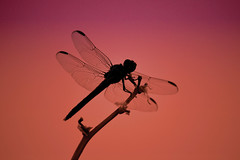Take a moment... (jeffr71) Tags: dragonfly sunset light sky shadow bug timeout wings silhouette