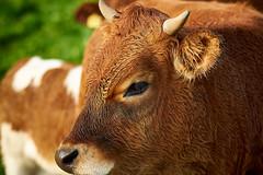 RM-2019-365-282 (markus.rohrbach) Tags: natur tier säugetier kalb projekt365