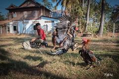Master of Puppets (iw2ijz) Tags: nikon reflex d500 person people persone viaggio trip travel cambodia cambogia cock galli combattimento fighting