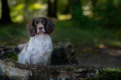 Sitting here (The Papa'razzi of dogs) Tags: wood zigzag spaniel pet nature dog outdoor cocker green hund animal jelling regionofsoutherndenmark denmark