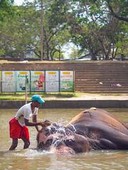 Elephant bathing at Kataragama (TeunJanssen) Tags: srilanka travel traveling worldtravel backpacking olympus omd omdem10 bathing elephant kataragama temple river shrine 45mm 45mmf18