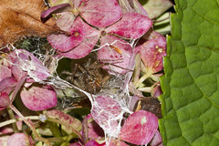 A Decorative Touch (brucetopher) Tags: funnel web spider funnelwebspider agelenidae grassspider funnelspider funnelweb spiders arachnid eight legs 8 flower pink hydrangea bug hole hollow lair cave