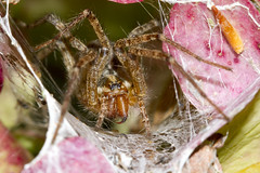 Pretty in Pink (brucetopher) Tags: funnel web spider funnelwebspider agelenidae grassspider funnelspider funnelweb spiders arachnid eight legs 8 arachtober fang macro fangs closeup longlegs bite cave hollow hole trap lair pink hydrangea flower bloom bug