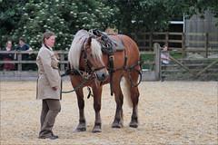 Belgian Draft (meniscuslens) Tags: draft horse belgian arena event charity horses hounds heroes buckinghamshire trust aylesbury princes risborough high wycombe