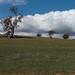 Old eucalypts