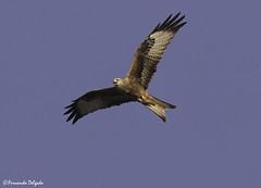 Milhafre-real (Milvus milvus) | Red Kite (Fernando Delgado) Tags: milhafre real milvus aves birds birdwatching prey rapina alentejo
