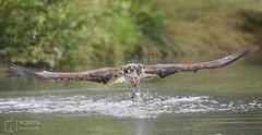 Osprey (mikedenton19) Tags: pandion haliaetus pandionhaliaetus osprey raptor birdofprey bird of prey rutland water horn mill trout farm hornmilltroutfarm wildlife nature
