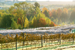 Vendanges 5 (guysamsonphoto) Tags: guysamson leverdesoleil sunrise vineyard vignoble automne autumn fall vignoblelescôtesdugavet tingwick morning matin countryside campagne