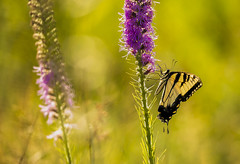 Tiger on Blazing Star (Bernie Kasper (6 million views)) Tags: color art butterfly bug butterflies bugs cliftyfalls cliftyfallsstatepark berniekasper family flowers flower colour floral insect fun image hiking indiana insects d750 blazingstar indianawildflowers indianabutterflies new old light macro love nature landscape outside outdoors nikon outdoor national nikkor naturephotography nwr madisonindiana park travel summer usa plant photography photo raw unitedstates sigma wildflowers wildflower swallowtail tigerswallowtail
