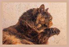 DSC07090 Easy (Olpo2vin) Tags: cat chat félin feline olpo easy poils fourrure redessan 30129 animaldecompagnie vibrisses