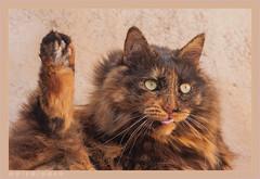 DSC07093 Easy (Olpo2vin) Tags: cat chat yeux eyes regard look félin feline olpo easy poils fourrure redessan 30129 animaldecompagnie vibrisses