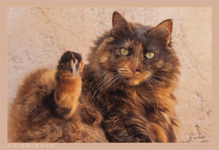 DSC07099 Easy (Olpo2vin) Tags: cat chat yeux eyes regard look félin feline olpo easy poils fourrure redessan 30129 animaldecompagnie vibrisses