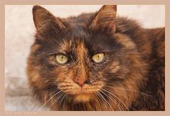 DSC07082 Easy (Olpo2vin) Tags: cat chat yeux eyes regard look félin feline olpo easy poils fourrure redessan 30129 animaldecompagnie vibrisses
