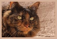 DSC07079 Easy (Olpo2vin) Tags: cat chat yeux eyes regard look félin feline olpo easy poils fourrure redessan 30129 animaldecompagnie vibrisses