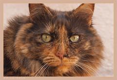 DSC07077 Easy (Olpo2vin) Tags: cat chat yeux eyes regard look félin feline olpo easy poils fourrure redessan 30129 animaldecompagnie vibrisses