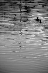Canards linéaires... (Tonton Gilles) Tags: noir et blanc lignes reflets impacts eau rivière sarthe canards couple colverts ombres silhouettes oiseaux palmipèdes graphisme