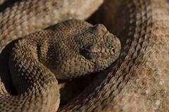 Speckled Rattlesnake (DevinBergquist) Tags: speckledrattlesnake rattlesnake crotalus crotaluspyrrhus herping fieldherping az arizona