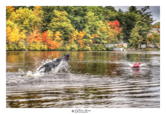 Doggy get that ball! Dog runs on water to fetch ball. (Pearce Levrais Photography) Tags: running run movement motion autumn autumnleaves fall foilage dog ball fetch lake water reflection splash play action sony a7r3 outside outdoor pond game canine nature
