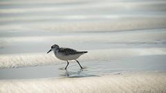 Pêche à pied (Titole) Tags: bécasseausanderling shadow bird beach walking titole nicolefaton limicole sanderling