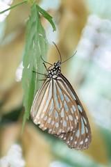 Butterfly hanging on leaf (billcoo) Tags: saigon xf1855mm fuji fujinon mcex11 garden 1855mm 80mm xh1 bokeh f28 insect travel fujifilm xf80mm extension tube macro