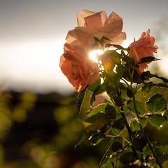 Rose, Uppsala, August 8, 2019 (Ulf Bodin) Tags: rose uppsala summer sverige salabacke salabackar flower regn canonrf85mmf12lusm outdoor rain canoneosr blomma sweden uppsalalän