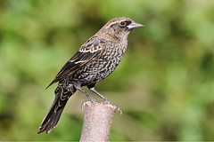 Red-winged Blackbird (Kristy_Baker) Tags: redwingedblackbird blackbird bird fall backyard nature wildlife kristybaker