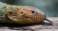 Caiman Lizard - Singapore, Zoo (San Diego Shooter) Tags: singapore singaporezoo zoo bokeh macro animal animals nathanrupertasiatrip2019 lizard caimanlizard