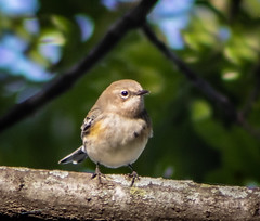 Warbler (mahar15) Tags: bird outdoors femalewarbler wildlife warbler yellowrumpedwarbler nature