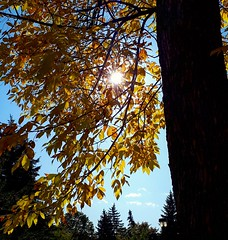 sunlight in a golden tree (angelinas) Tags: golden yellow leaves naturallight light sunlight sole soleil feuilles fall fallfoliage autumnlovers autumn autumnleaves automne otono natureza nature natura outdoor tree mood wonder zen namaste mothernature dore arbre arbeli lanature landscapes paysage paesaggi montreal quebec canada delicate pretty treetops pines