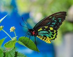 Cairns Birdwing Butterfly (EmptySpacesStudios) Tags: cairns birdwing butterfly insect macro bug