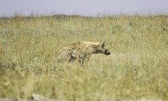 Spotted Hyena (AndrewSingleton) Tags: safari serengetinationalpark tanzania africa serengeti animal animals wildlifephotography wildlife spottedhyena hyena